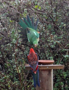 King Parrot and Easter Rosella